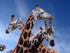 P4-5 2_Giraffen_MaSa